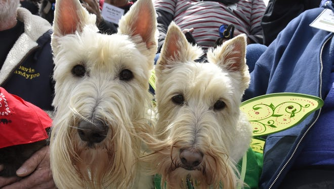 """It doesn't get any cuter than Scottish terriers Happy Jack and Emma riding the """"people wagon"""" during the 2017 Parade of Scots, part of the Door County Scottie Rally in Baileys Harbor. Happy Jack and Emma are featuring the unusual wheaten color (light beige or white) instead of the usual black."""