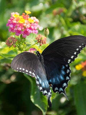 For Mother's Day, give mom a pot of lantana, such as Berry Blend, to attract blue swallowtails, other butterflies and hummingbirds.