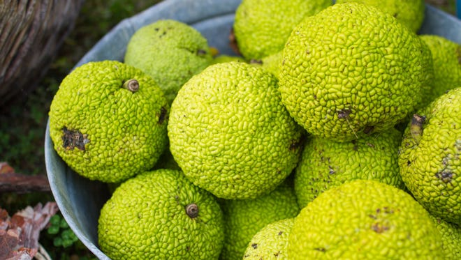 Osage orange is said to have spider-fighting abilities.