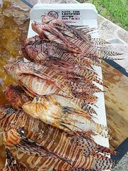 Team Frapper brought in its lionfish catch Saturday