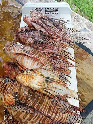 Team Frapper brought in its lionfish catch Saturday during Capt. Don's Treasure Coast Lionfish Safari in Fort Pierce.