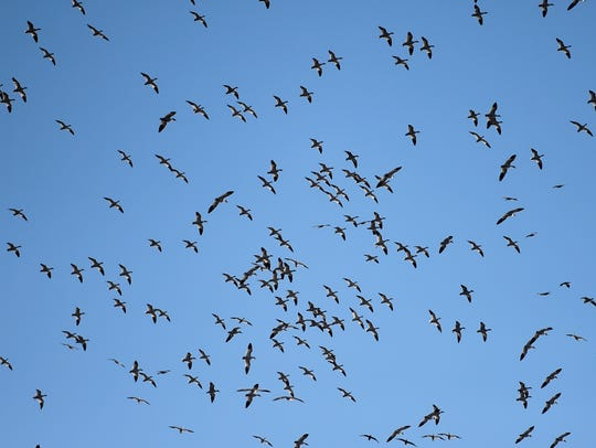 The annual migration of snow geese and tundra swans