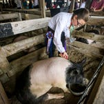 Jasmyne Sprague of South Fort Myers raised the Supreme Champion Hog this year at the Southwest Florida Lee County Fair. She prepared Lucky Gizmo, a Hampshire X weighing in at 273 pounds, for auction Saturday afternoon, March 5, 2016. She said it is sad to have to give him up in the end, but it is part of life. Jasmine loves 4-H and this is her 4th year showing hogs.