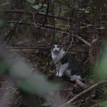 A band of volunteers are keeping the Southwest Florida feral cat population at bay.  They have been taking part in the trap, neuter and release program.  The program allows cats to be neutered and released back to their colonies while not having to euthanize them.