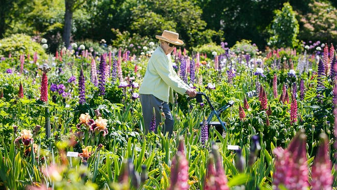 Donna Schmitt walks through rows of iris and lupin at Schreiner's Iris Gardens in Salem on Friday, May 19, 2017. The Keizer Iris Festival takes place this weekend, with the Iris Parade on Saturday, May 20.