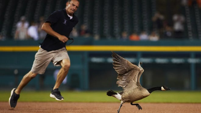 Member of the grounds crew chases a goose around the field during a rain delay in the sixth inning of the game between the Detroit Tigers and the Los Angeles Angels at Comerica Park on Wednesday, May 30, 2018.