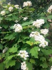 Oakleaf Hydrange (H.quercifolia)-J.Krumpe