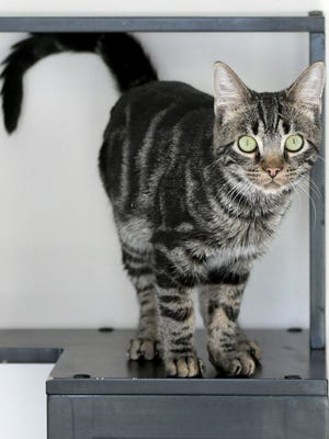 A Tabby names Maynard from S.T.O.P. will be one of two cats competing in this weeked's Cat Fanciers Association Cat Show at the Richland County Fairgrounds in the Household Pet category.