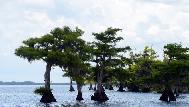 A blue-green algae bloom in Blue Cypress Lake in western Indian River County was found to contain the toxin microcystin, according to the Ocean Research & Conservation Association in Fort Pierce. Microcystin can cause nausea and vomiting if ingested and rash and hay fever symptoms if touched or inhaled.