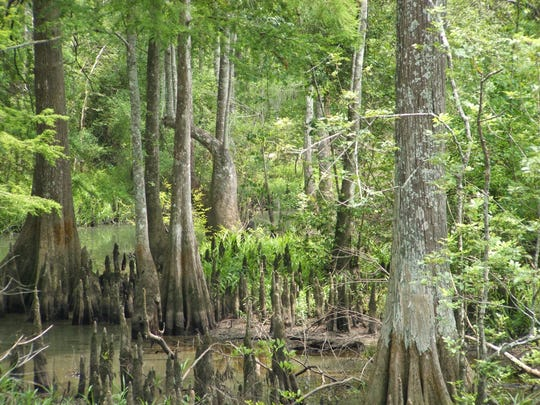 It's easy to explore the swamp and wetlands at Tickfaw State Park, La., along boardwalks that stretch for more than a mile.