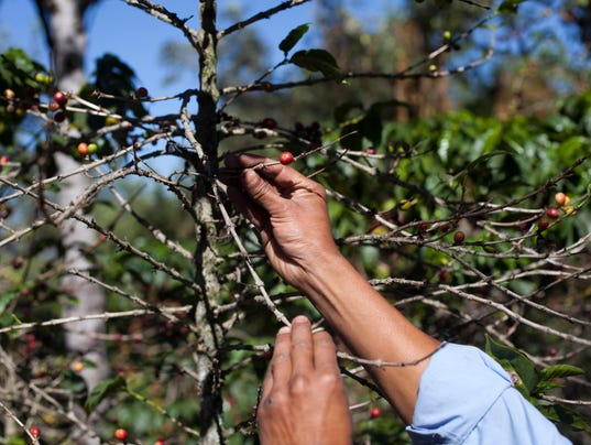 Coffee Plant Disease (2)