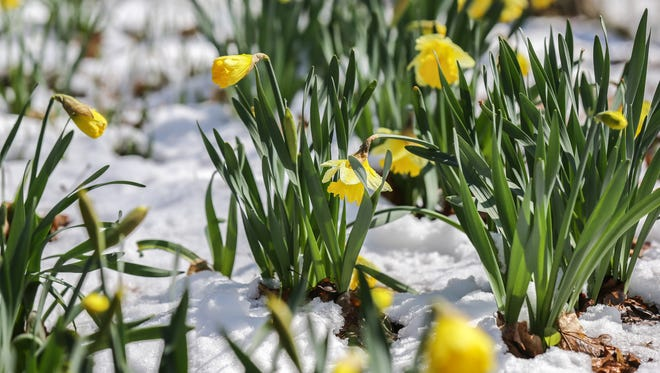 Daffodils emerge as snow melts on the grounds of Indianapolis Museum of Art at Newfields in Indianapolis on Monday, April 2, 2018.