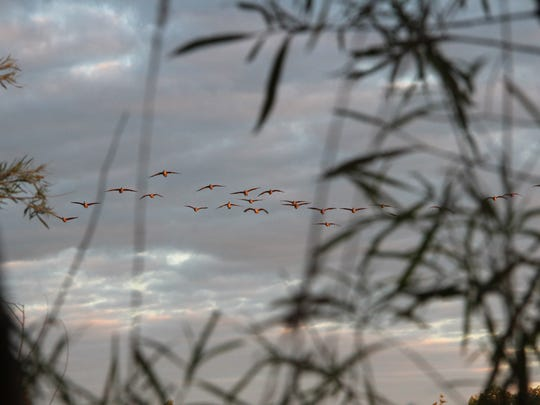A flock of Canada geese is seen from a hunter's blind along the edge of a winter wheat field in Ozaukee County. Photo taken Sept. 1, 2016 by Paul A. Smith.