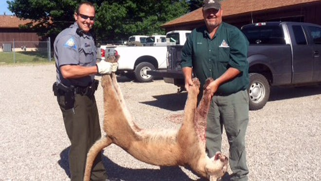 Laclede County Agent Jarad Milligan, left, of the Missouri Department of Conservation's Laclede County office and department employee Joe Burns show how the size of the mountain lion.