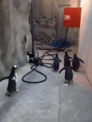 A group of penguins were recently filmed waddling down a hallway at a Denmark Zoo in what the zoo says looked like an attempt at escape.