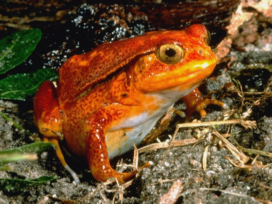 The brightly colored tomato frog is popular with pet