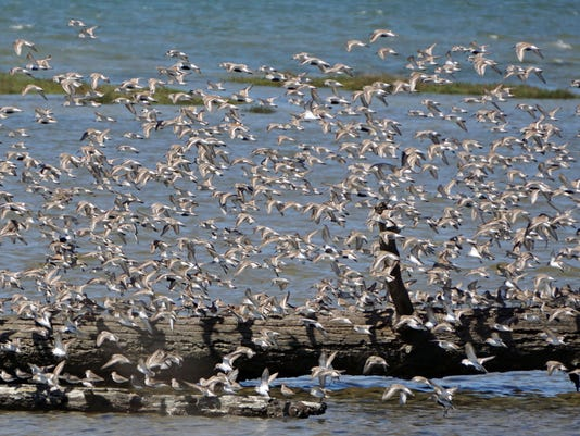 636597378764077043-Shorebirds1.jpg