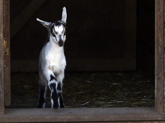 A baby goat comes out of the barn at Fairview Farm Dairy in Dallas.