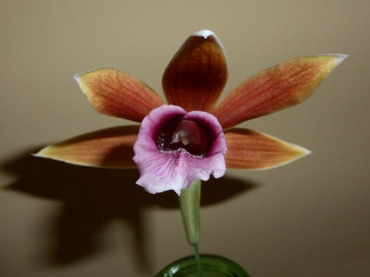 Close up look at nun's orchid.