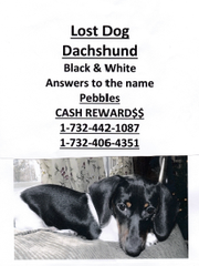 Pebbles, a mini Dachshund therapy dog, has been missing from her Perth Amboy home since Nov. 15.