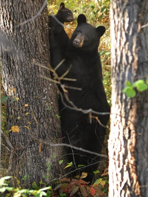 Researchers with N.C. State University will start a black bear monitoring project at Carl Sandburg Home this summer in Flat Rock.