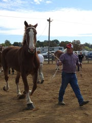 Gary Whitt of Coshocton shows a horse on behalf of Wind Walker Farms Wednesday at the Coshocton County Fair.
