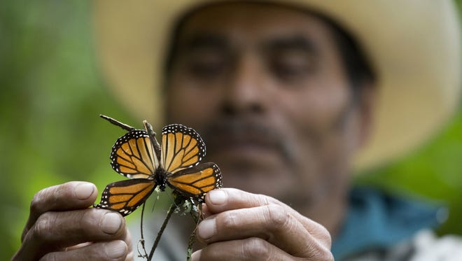 A guide holds up a dying butterfly in November 2015 at the monarch butterfly reserve in Piedra Herrada, Mexico.