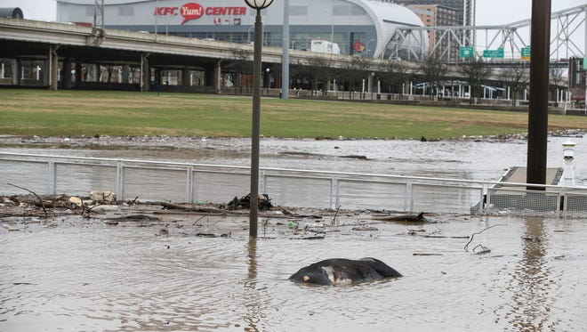 A cow washed up at Waterfront Park due to flooding. A Courier Journal investigative reporter was unable (for now) to locate the cow in early March. Feb. 22, 2018