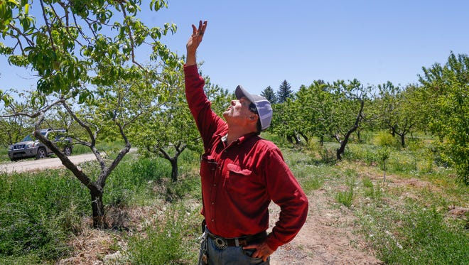 Leslie Kerby, manager and operator of Kerby Orchard, talks about his peach trees during a tour of his orchard Tuesday in Farmington.