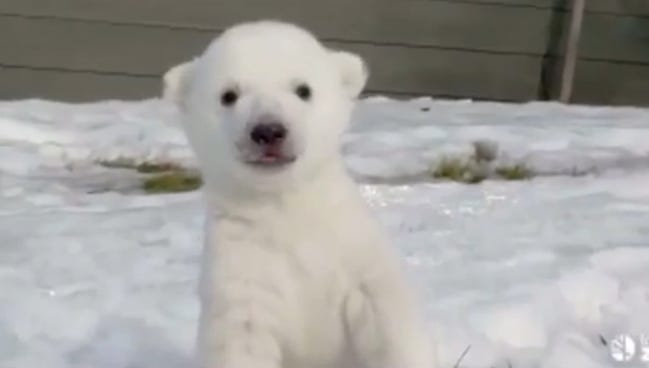 Toronto Zoo's baby polar bear club plays in the  snow for the first time.