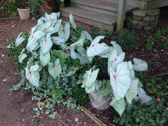 White caladiums, ivy, and coleus at Callaway Gardens.