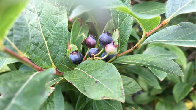 Wild blueberries and huckleberries are in season in Pennsylvania.