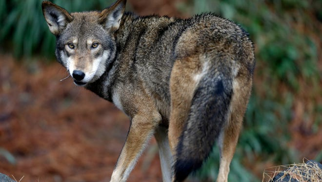 A male red wolf.