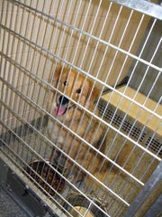 A mixed-breed dog named Lili sits in her kennel at Summit County Animal Control in Akron, Ohio. Lili gave Dr. Pamela Fisher a look that she says convinced her to adopt her. Fisher was at the shelter installing an MP3 player for her nonprofit Rescue Animal MP3 Project, which plays dog-friendly and cat-friendly music so the dogs will stop barking and the animals will de-stress and relax. More than 1,100 shelters across the country have taken Fisher up on her offer and swear by the results.