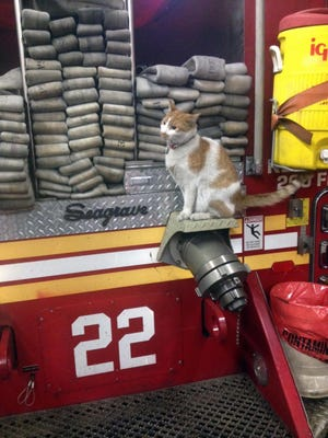 Carlow is perched on a fire truck in New York. Carlow became the firefighters' official mascot.