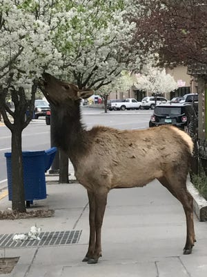A blooming tree in midtown makes for an elk's afternoon snack
