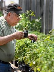 Warm sunny weather has David Morris shopping for tomato plants at Days Garden Center Wednesday, April 8, 2017.