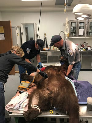 Veterinarians provide medical care to a mother bear that was shot with a live round by a Washoe County deputy. The bear died of its injuries early Sunday morning.
