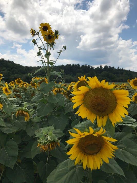 636361417094642511-sunflowers-vertical.jpg
