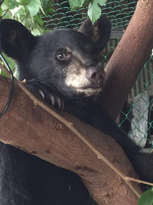 Whisper is a bear cub recovering at Woodlands following surgery to her jaw.