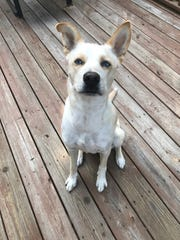 Ari is a happy Husky/hound mix with beautiful blue eyes who is hoping to find a family to love him.