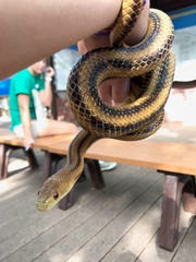 Meet Sheldon, a yellow rat snake. Sheldon was brought to the Conservancy in June 2015.