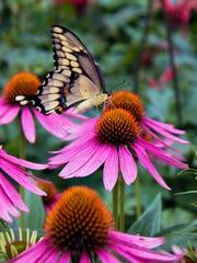 Native purple coneflower is a butterfly favorite.