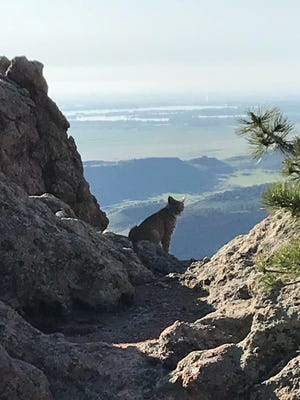 A county staffer spotted a bobcat at Horsetooth Mountain Open Space this week.