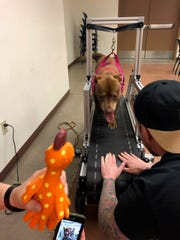 A dog at the Maricopa County animal shelter in Phoenix exercises on a treadmill purchased by non-profit One Love Pit Bull Foundation.