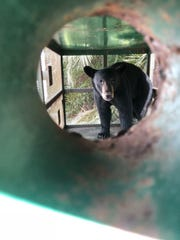 A yearling black bear was trapped behind an apartment
