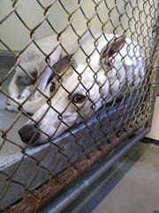 Greyhounds Blood Bank (2)