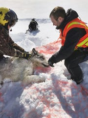 This Feb. 28, 2019 photo provided by the Ontario Ministry of Natural Resources and Forestry, the U.S. National Park Service and the National Parks of Lake Superior Foundation shows an Ontario wolf captured at Michipicoten Island in Ontario, Canada.