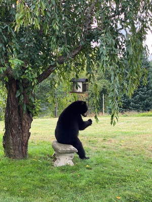 HOLDEN - A bear helps itself to some breakfast from a bird feeder on River Street on a late September Friday morning.