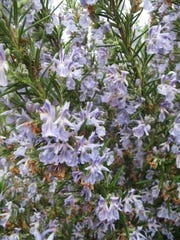 A rosemary plant on residential property near Langley, Wash. Many herbs, like rosemary, are attractive to look at as well as to taste. You can use them as a garnish or fragrant centerpiece on the dining room table.